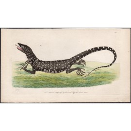 monitory lizard nodder engraving