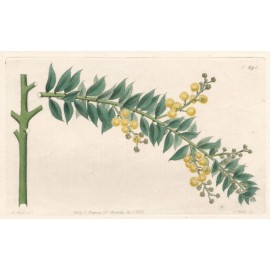 acacia vestita botanical engraving