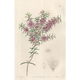 Peach Myrtle botanical engraving