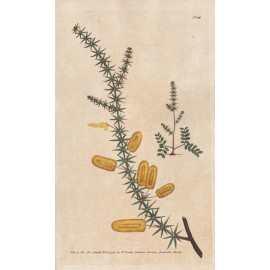 mimosa curtis botanical magazine print antique engraving