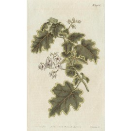 lasiopetalum curtis botanical magazine print antique engraving