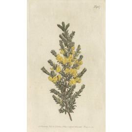 pultenaea villous yellow curtis botanical print antique engraving