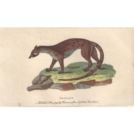 fossane fossa engraving naturalists pocket magazine