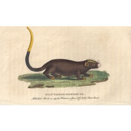 gilt tailed dormouse engraving naturalists pocket magazine
