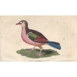 green winged dove engraving naturalists pocket magazine