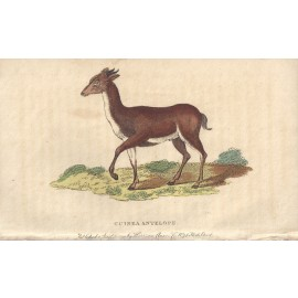 guinea antelope engraving naturalists pocket magazine
