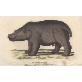 hippopotamus engraving naturalists pocket magazine