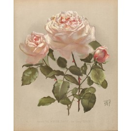 hybrid tea white lady rose print