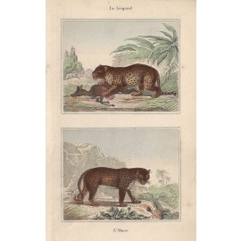 leopard panther antique engraving