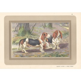 hound basset Chromolithograph print gun dog breed