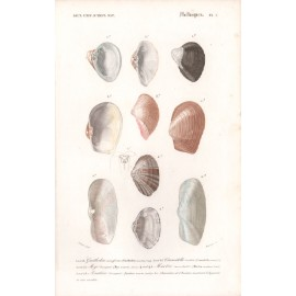 Molluscs engraving French shells print 4