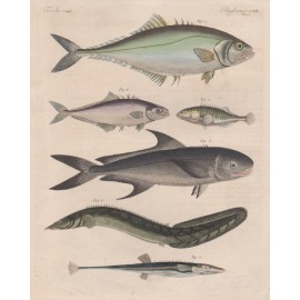 Fish antique engraving Friedrich Justin Bertuch