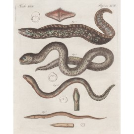 Eels antique engraving Friedrich Justin Bertuch