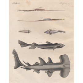 hammerhead shark antique engraving Friedrich Justin Bertuch