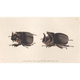 midas beetles naturalists miscellany