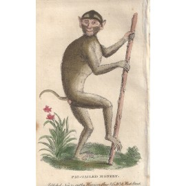 pig tailed monkey engraving naturalists pocket magazine