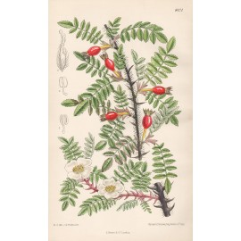 Rosa Omeiensis Curtis botanical print