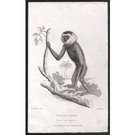smaller gibbon engraving