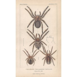 lycosa epeira spiders spider print