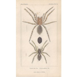 lycosa spiders spider print
