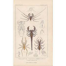 scorpion spider print engraving