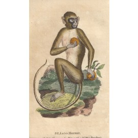 st jago green monkey engraving naturalists pocket magazine