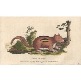 varied squirrel engraving naturalists pocket magazine