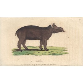tapir engraving naturalists pocket magazine