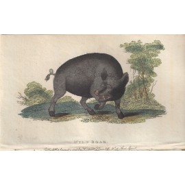 wild boar engraving naturalists pocket magazine