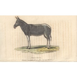 wild mule engraving naturalists pocket magazine
