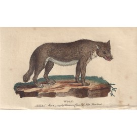 wolf engraving naturalists pocket magazine