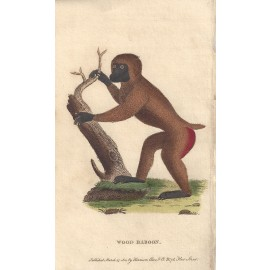 wood baboon engraving naturalists pocket magazine