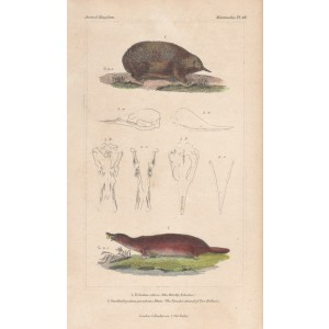 The Bristly Echidna and The Paradox Animal of New Holland (Platypus)