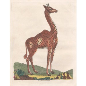 The Giraffe or Cameleopardalus