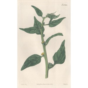 Horned Tetragonia - New Zealand Spinach