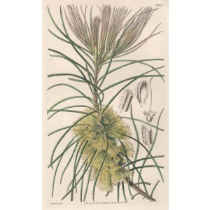 Callistemon Pinifolium - Pine-leaved Callistemon