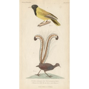 The Lyre Bird and Condougan of India