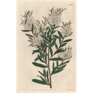 Hakea linearis - Linear-leaved Hakea