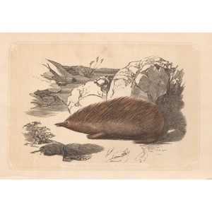 The New Holland Hedgehog (Echidna)