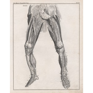 German anatomical lithograph - Veins in the Legs