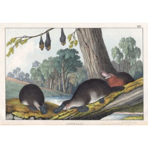 Australia - Ornithorhyncus (Platypus) (and Flying Fox)