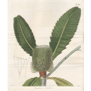 Banksia latifolia - Broad-Leaved Banksia