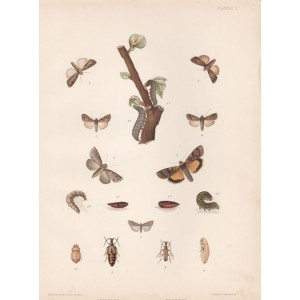 Diseases and pests of vines - Moths