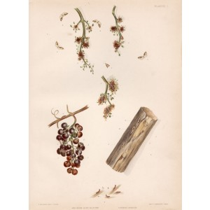 Diseases and pests of vines - Cochylis