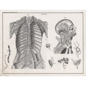 German anatomical lithograph - Blood supply to Chest and Head
